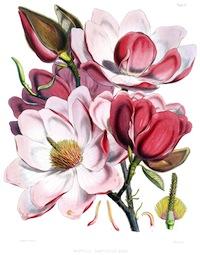 Magnolia_campbellii_flowers